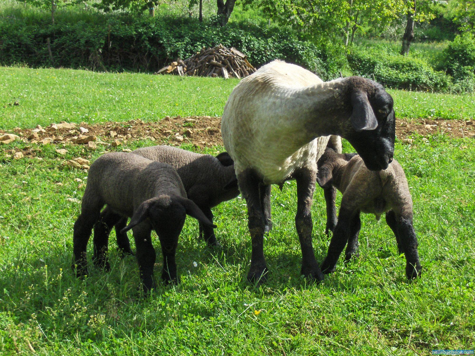 Pecore suffolk umbria