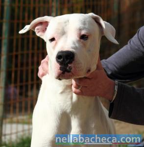 DIABLO, simpatico Dogo Argentino