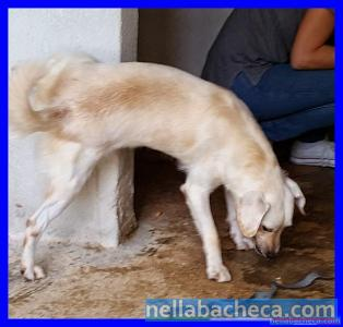 CARLOS mini labradorino 2 anni
