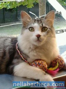 Splendido gatto dal pelo semilungo in regalo