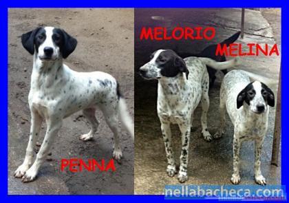 PENNA MELORIO E MELINA cuccioloni mix pointer splendidi
