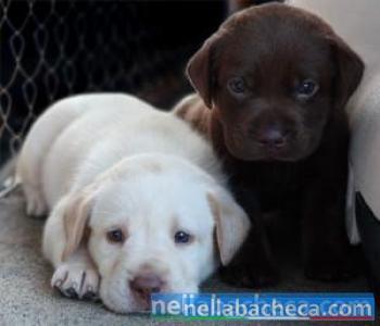 Cuccioli di Labrador Retreiver