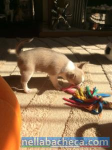 Chihuahua mini-toy Chihuahua mini-toy