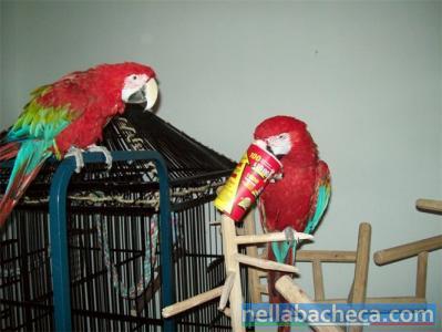 Coppia di pappagalli verde-alato Ara disponibile per loro nuove case