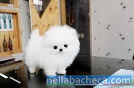 Inestimabili cuccioli bianchi di Pomerania per l'adozione