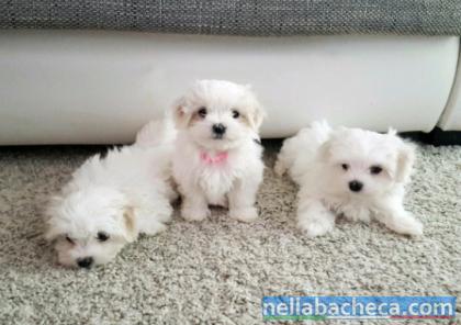 cuccioli maltese