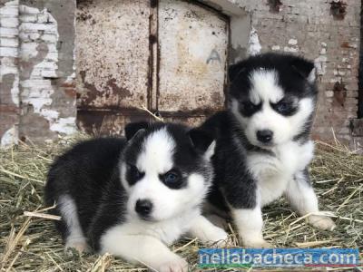 Splendidi cuccioli di Siberian Husky con pedigree