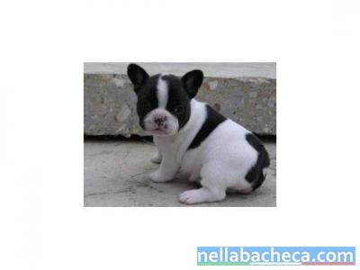 MARAVIGLIOSO cuccioli di bull'dog francesi 90- gionori